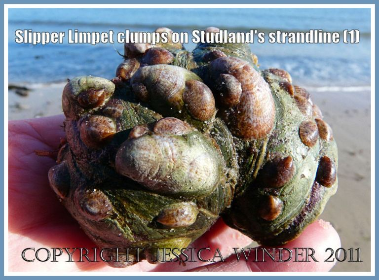Slipper Limpets: An aggregation of living Slipper Limpets - Crepidula fornicata (Linnaeus) - found on the strandline at Studland Bay, Dorset, UK (part of the Jurassic Coast) (1)