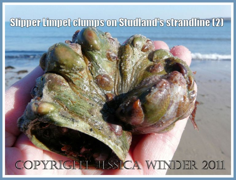Slipper Limpets: A clump of living Slipper Limpets - Crepidula fornicata (Linnaeus) - found on the strandline at Studland Bay, Dorset, UK (part of the Jurassic Coast) (2)
