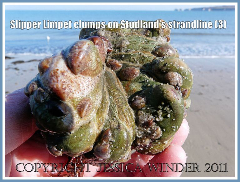 Living Slipper Limpets: Linked adult Slipper Limpets with small juveniles attached to them. From the strandline at Studland Bay, Dorset, UK - part of the Jurassic Coast (3)