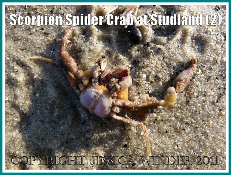 The Scorpion Spider Crab as it was first seen - upside down on the wet sand where it had been washed ashore - at Studland Bay, Dorset, UK - part of the Jurassic Coast (2)