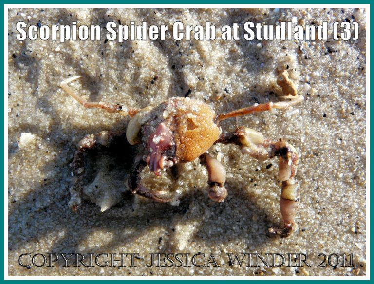 The Scorpion Spider Crab after it had been turned right side up on the wet sand of the strandline at Studland Bay, Dorset, UK - part of the Jurassic Coast (3)