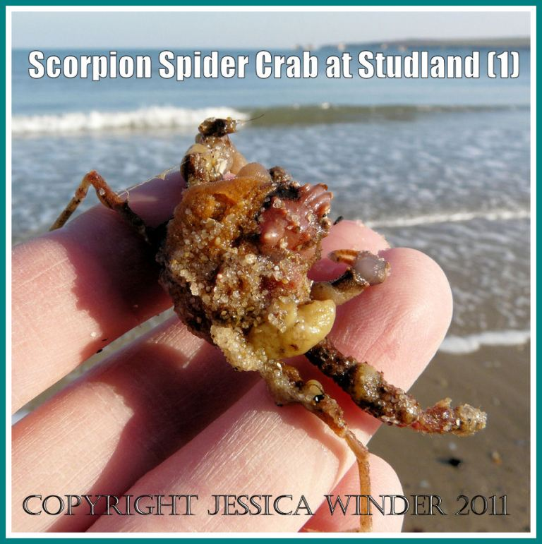 Scorpion Spider Crab, Inachus dorsettensis (Pennant), from the strandline at Studland Bay, Dorset, UK - part of the Jurassic Coast (1)