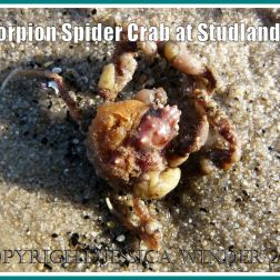 The Scorpion Spider Crab after it had been rinsed in the sea at Studland Bay, Dorset, UK - part of the Jurassic Coast (4)