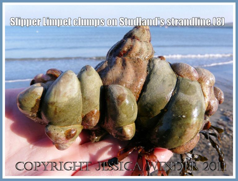 Slipper Limpets on a Whelk shell: Another view of a clump of living Slipper Limpets, Crepidula fornicata (Linnaeus), stuck to an empty Common Whelk shell and with red seaweed attached, on the strandline at Studland Bay, Dorset, UK - part of the Jurassic Coast (8)