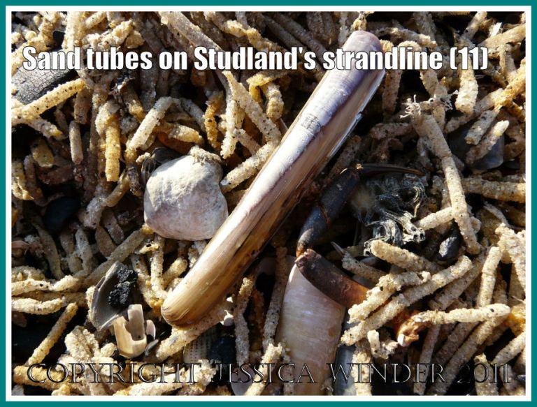 Strandline details: Close-up of the strandline full of marine worm sandtubes, showing empty Razor Shell, Saddle Oyster, and Netted Whelks, at Studland Bay, Dorset, UK - part of the Jurassic Coast (11)