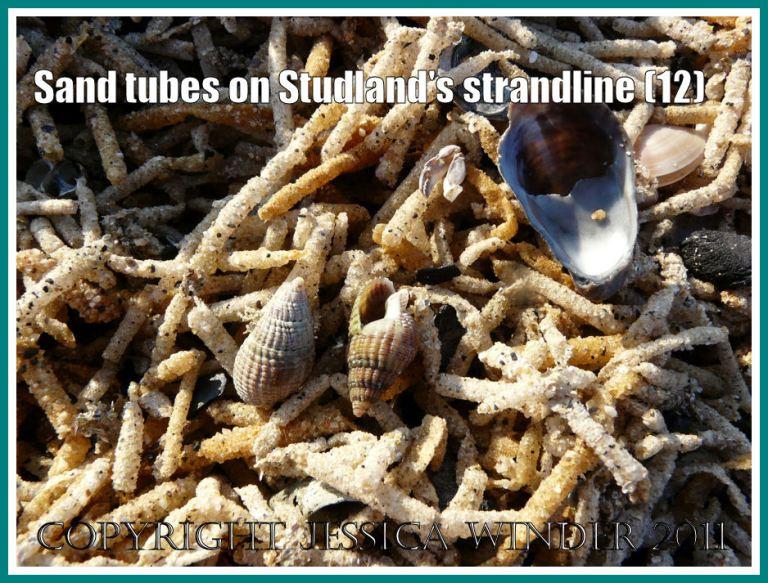 Strandline debris at Studland Bay: Close-up of the strandline full of marine worm sandtubes, showing a Slipper Limpet and Netted Whelk shells, at Studland Bay, Dorset, UK - part of the Jurassic Coast (12)