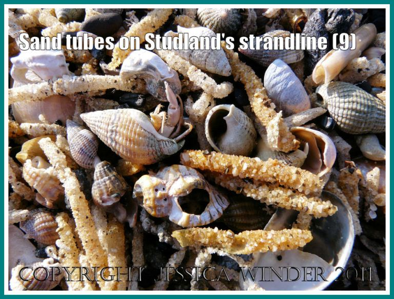 Detail of Studland strandline: Close-up of the strandline full of marine worm sandtubes, and empty Slipper Limpets, Razor Shells, Sting Winkles, and Netted Whelks (one with a minute Hermit Crab) at Studland Bay, Dorset, UK - part of the Jurassic Coast (9)