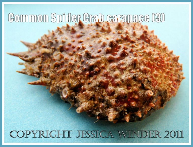 Spider Crab shell: An empty Common Spider Crab carapace, outer surface with spines, tubercles, and orange-red pattern, from the strandline at Studland Bay, Dorset, UK - part of the Jurassic Coast (3)