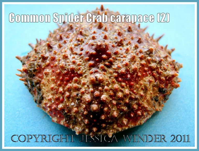 Spider Crab shell: An empty Common Spider Crab carapace, outer surface with spines, tubercles, and orange-red pattern, from the strandline at Studland Bay, Dorset, UK - part of the Jurassic Coast (2)