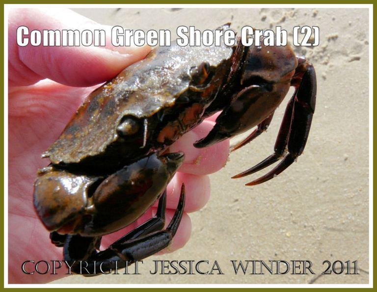 Common Green Shore Crab: Not very big: a living Common Green Shore Crab - Carcinus maenas (L.) - at Studland Bay, Dorset, UK - part of the Jurassic Coast (2)