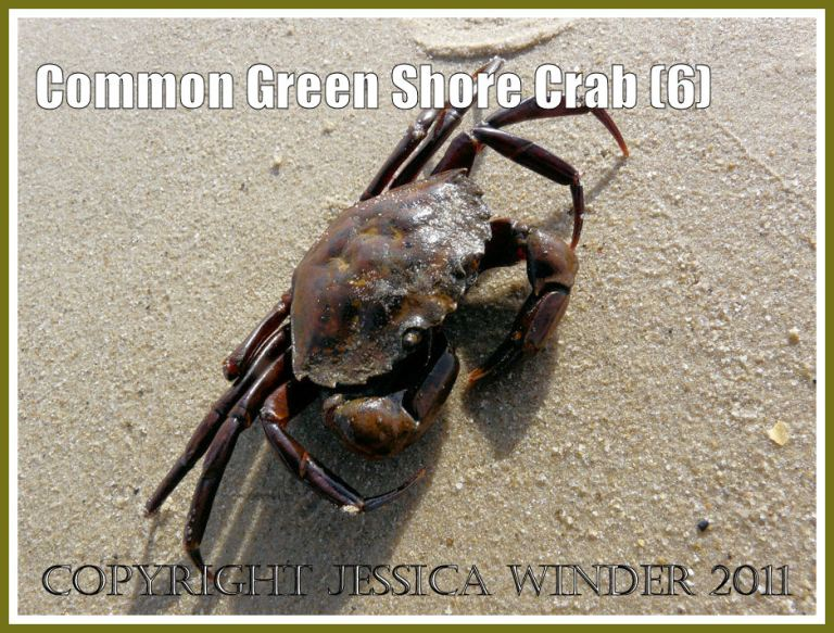 Green Shore Crab: A living Common Green Shore Crab - Carcinus maenas (L.) - stage one of slowly moving sideways and away from the camera, at Studland Bay, Dorset, UK - part of the Jurassic Coast (6)
