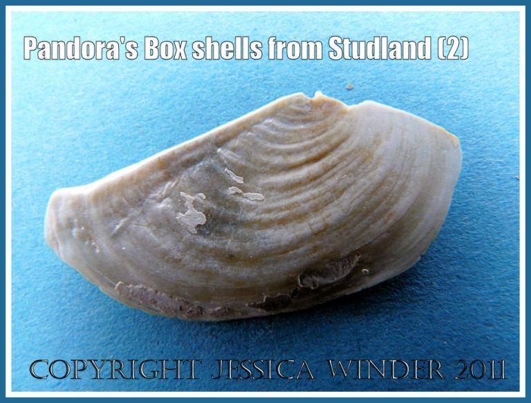 Studland Bay seashell: Pandora's Box shell, outer surface right valve, Pandora inaequivalvis/albida, from Studland Bay, Dorset, UK - part of the Jurassic Coast (2)