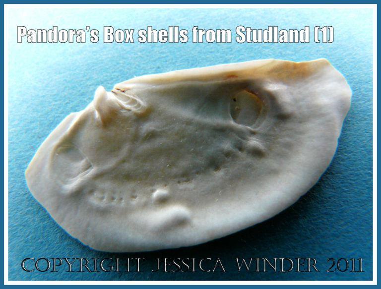 Studland Bay seashell: Pandora's Box shell, inner surface right valve, Pandora inaequivalvis/albida, from Studland Bay, Dorset, UK - part of the Jurassic Coast (1)