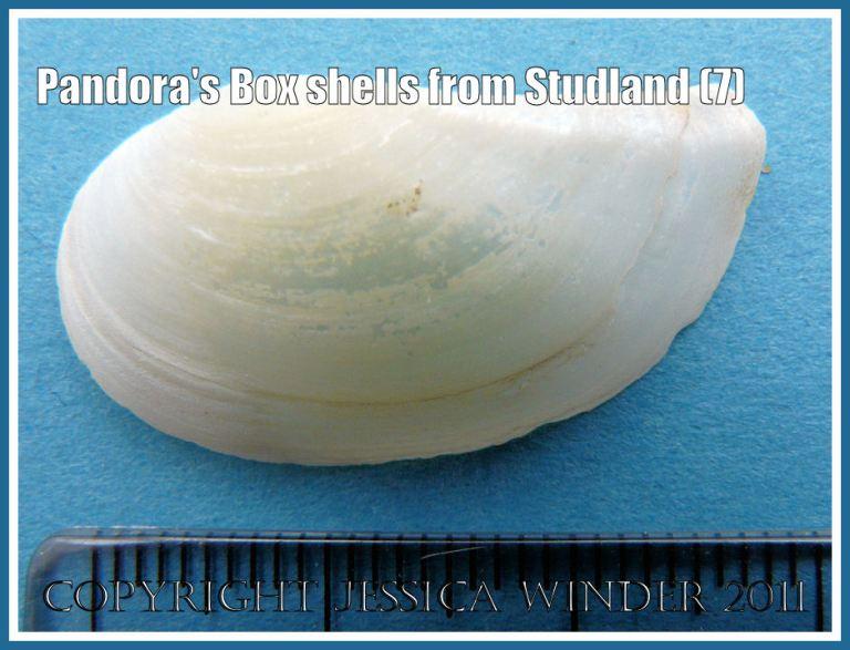 Studland bay seashells: Pandora's Box shell, Pandora inaequivalvis/albida, exterior of left valve, scale in millimetres, from Studland Bay, Dorset, UK - part of the Jurassic Coast (7)