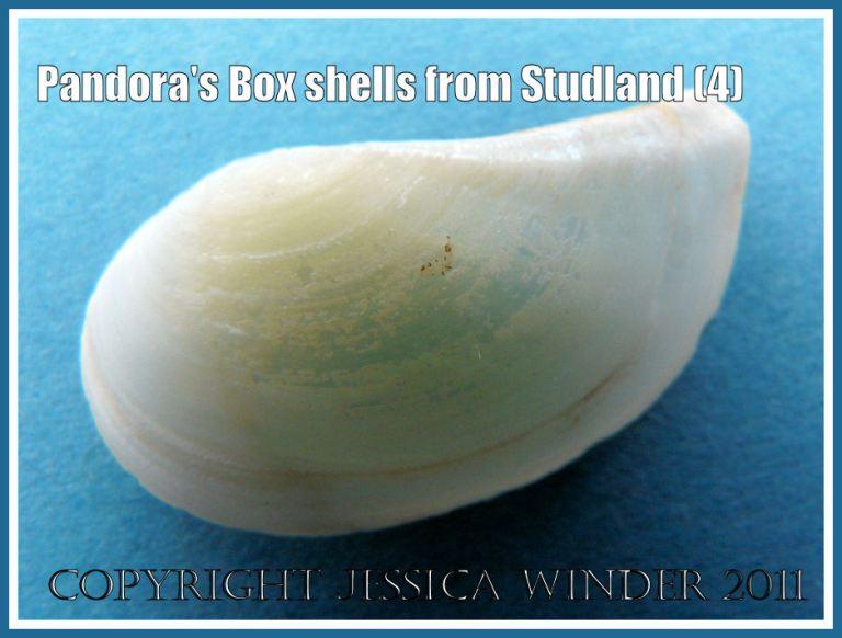 Studland Bay seashells: Pandora's Box shell, Pandora inaequivalvis/albida, left valve outer surface, not a matching pair, from Studland Bay, Dorset, UK - part of the Jurassic Coast (4)