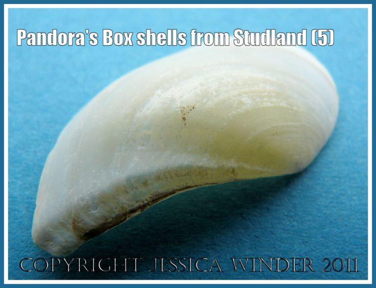 Studland Bay seashells: Pandora's Box shell, Pandora inaequivalvis/albida, left valve outer surface, showing details of the dorsal edge, from Studland Bay, Dorset, UK - part of the Jurassic Coast (5)