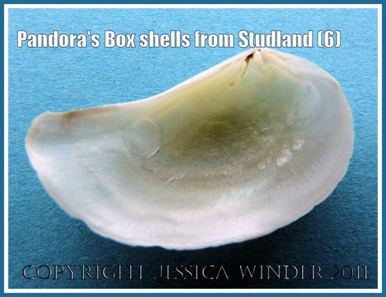 Studland Bay seashell: Pandora's Box shell, Pandora inaequivalvis/albida, interior of left valve, from Studland Bay, Dorset, UK - part of the Jurassic Coast (6)