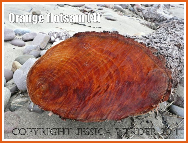Gower flotsam: Orange coloured wood in cut section of a piece of driftwood washed ashore onto a sandy beach as flotsam (4)