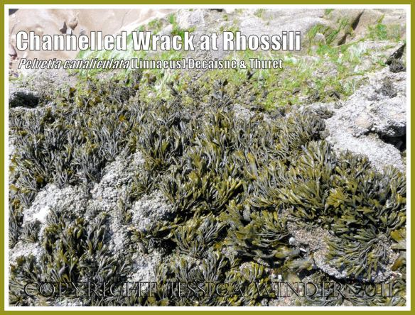 Olive green seaweed: Channelled Wrack, Pelvetia canaliculata (Linnaeus) Decaisne and Thuret, growing on Spaniard Rocks, Rhossili, Gower, South Wales (4)