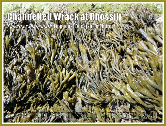 Channelled Wrack, Pelvetia canaliculata (Linnaeus) Decaisne and Thuret, growing on Spaniard Rocks at Rhossili Bay, Gower, South Wales.