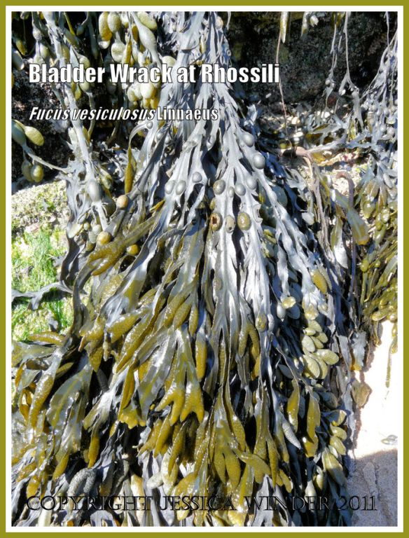 Common British seaweeds: Bladder Wrack or Popweed, Fucus vesiculosus Linnaeus, growing on Spaniard Rocks, Rhossili Bay, Gower, South Wales - showing small bean-sized air bladders along the fronds and swollen reproductive bodies at the tips (3)