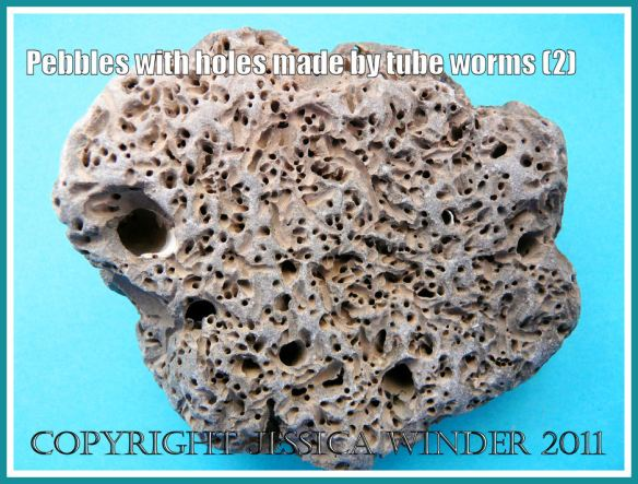 Pebble with holes and tunnels: A pebble of sedimentary rock in which the majority of borings are small and made by marine mud tube worms (2)