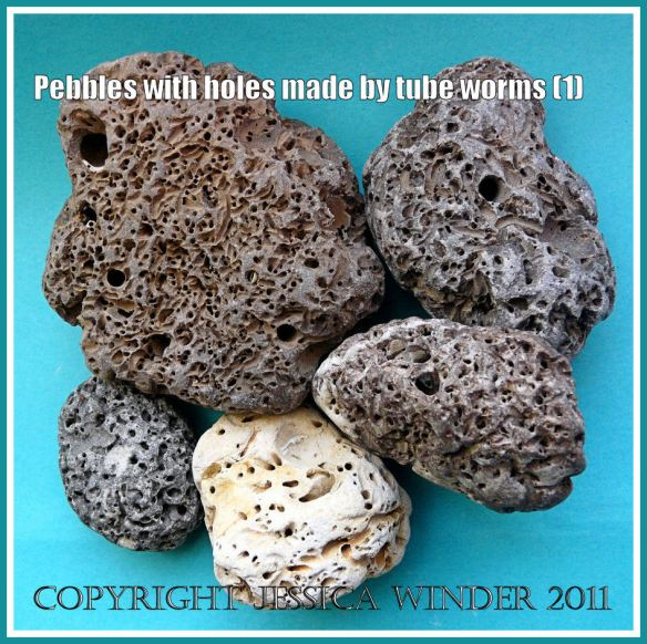 Pebbles with holes: An arrangement of sedimentary rock pebbles riddled with small holes and burrows made by marine polychaete worms such as Polydora ciliata (Johnston) (1)