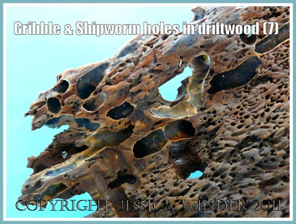 Driftwood damaged by sea creatures: Detail of infestation damage from wood-boring sea creatures: small tunnels by Gribbles and large tunnels and perforations by Shipworms. Driftwood from Rhossili, Gower, South Wales (7)