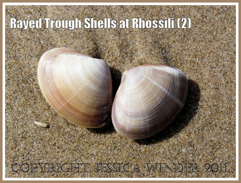Rayed Trough Shells: Two Rayed Trough Shells (Mactra stultorum (L) washed up together on the wet sand at Rhossili Bay, Gower, West Glamorgan, UK (2)