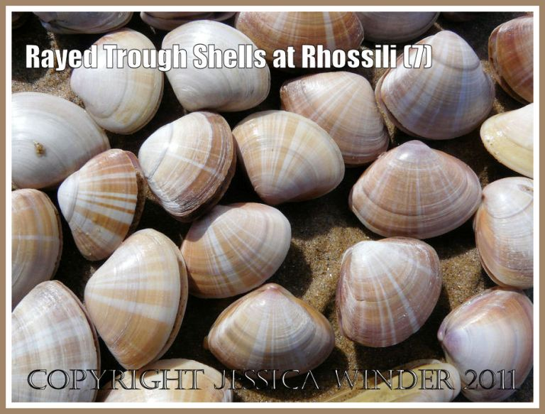 Rayed Trough Shells: A close-up view of lots of Rayed Trough Shells (Mactra stultorum (L) gathered together from the wet sandy strandline at Rhossili Bay, Gower, West Glamorgan, UK (7)