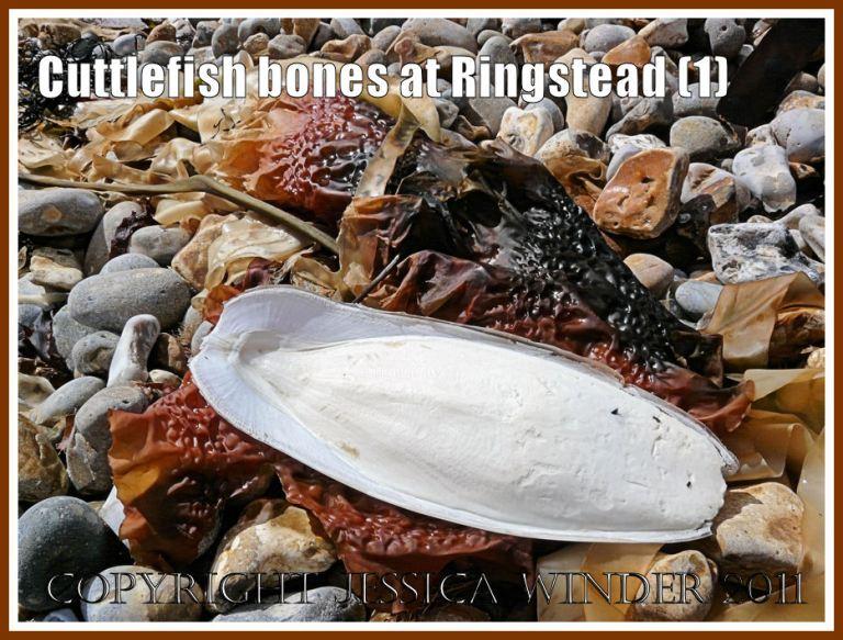 Cuttlefish bone on the beach: Cuttlebone on the strandline at Ringstead Bay, Dorset, UK - part of the Jurassic Coast (1)
