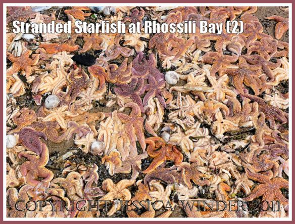 Common British starfish: Stranded starfish near Burry Holms at Rhossili, Gower, South Wales, U.K. 15th August 2008 (2)