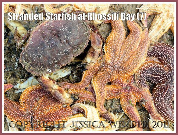 Crab eating starfish: Edible Crab (Cancer pagurus Linnaeus) eating dead stranded Common Starfish (Asterias rubens Linnaeus) near Burry Holms at Rhossili, Gower, South Wales, U.K. 15th August 2008 (7)