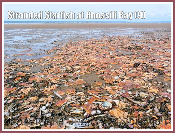 A multi-coloured carpet of stranded starfish (Asterias rubens Linnaeus) on the sandy strandline near Burry Holms at Rhossili, Gower, South Wales, U.K. 15th August 2008 (9)