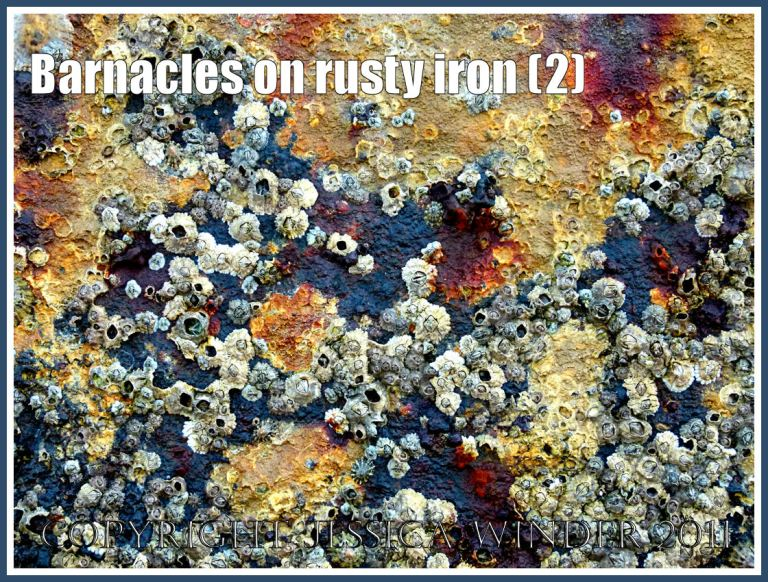 Barnacles growing on the rusty iron of a British seaside pier (2)