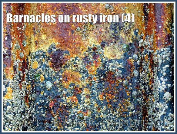 Seashore creatures picture: Barnacles growing on the rusty iron of a British seaside pier (4)