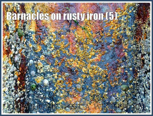 Rusty iron with barnacles: Barnacles growing on the rusty iron of a British seaside pier (5)