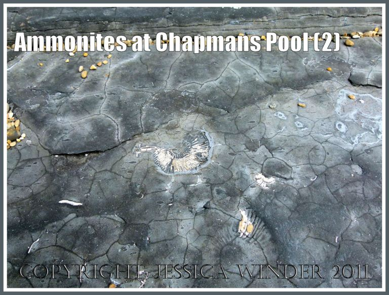 Chapmans Pool ammonite: Pavlovia rotunda ammonite fossil in situ in the Rotunda Shales of the Kimmeridge Clay Series of Jurassic rock strata, exposed on the flat beds of rock beneath the shingle at Chapmans Pool. Dorset, UK, on the Jurassic Coast World Heritage Site (2)