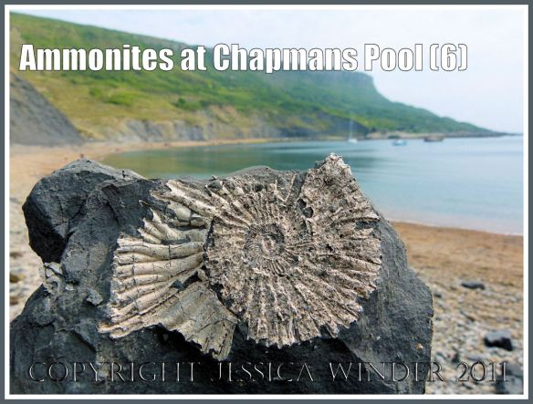 Chapmans Pool fossil: Pavlovia rotunda ammonite fossil in situ in the Rotunda Shales of the Kimmeridge Clay Series of Jurassic rock strata, compressed fossil found on a piece of shale in a pile of scree at the base of the cliff, at Chapmans Pool, Dorset, UK, on the Jurassic Coast World Heritage Site (6)