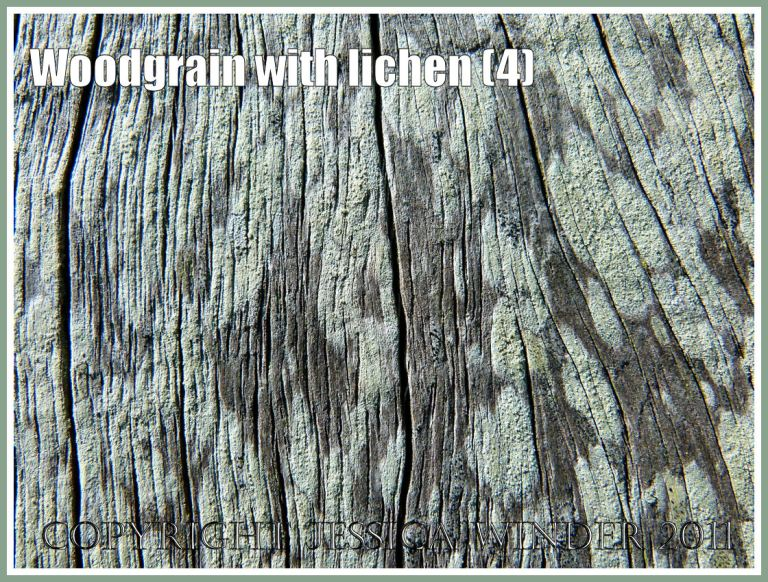 Natural abstract patterns: Woodgrain pattern and texture enhanced by the delicate colours of encrusting lichens on a fence post exposed to salty sea breezes at Ringstead Bay, Dorset, U.K. on the Jurassic Coast (4)