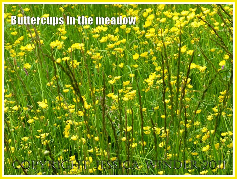 Yellow Buttercups flowering profusely in a Dorset meadow