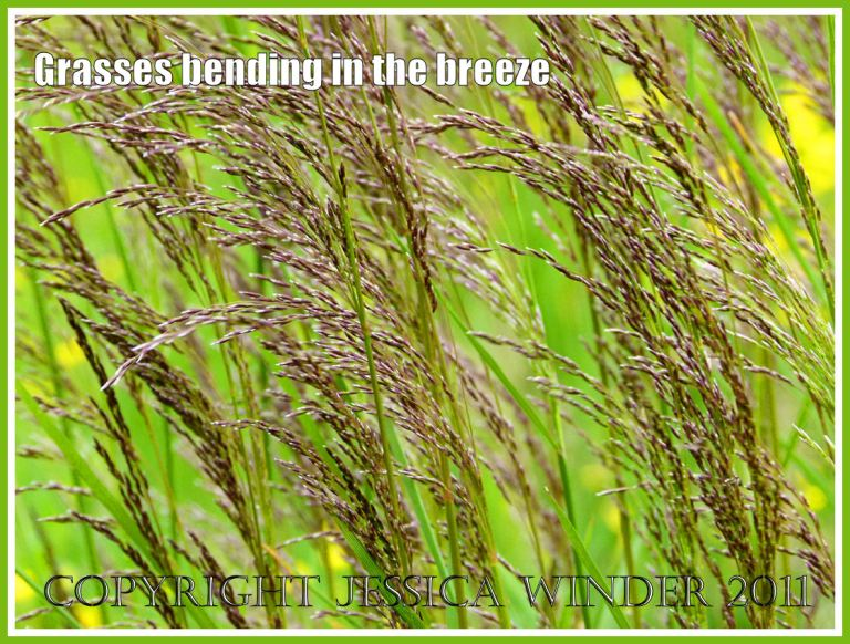 Purple-headed grasses curved by the breeze in a Dorset meadow.