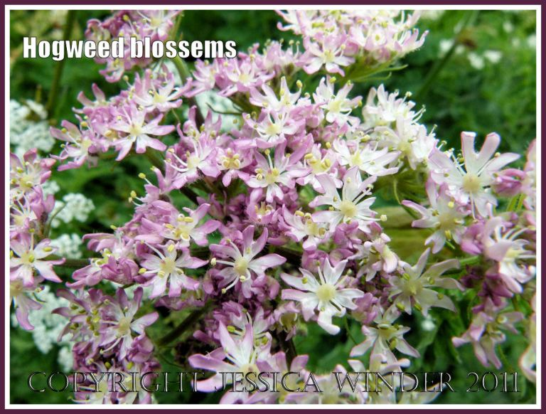 Pink-tinged Hogweed flowers freshly opened in a Dorset hedgerow.