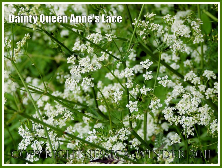 Delicate tracery of white Queen Anne's Lace flowers in a Dorset hedgerow.