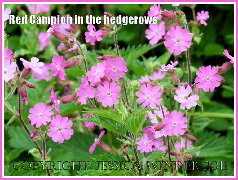 Brightly coloured Red Campion flowers decorate a Dorset field margin.