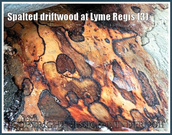 Spalted driftwood: Spalting pattern on driftwood from Lyme Regis, Dorset, UK - part of the Jurassic Coast (3)