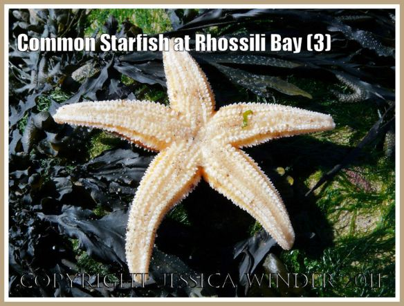 Common starfish, Asterias rubens Linnaeus, from Spaniard Rocks, Rhossili Bay, Gower, showing ventral or under surface (3)