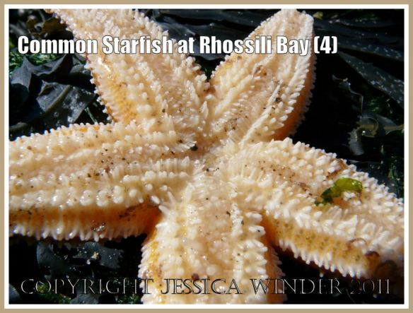 Common Starfish, Asterias rubens Linnaeus, from Spaniard Rocks, Rhossili Bay, Gower, showing detail of ventral surface with columnar spines and tube feet (4)