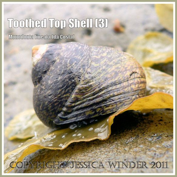Toothed Top Shell, Monodonta lineata (da Costa), at Ringstead Bay, Dorset, UK - part of the Jurassic Coast (3)