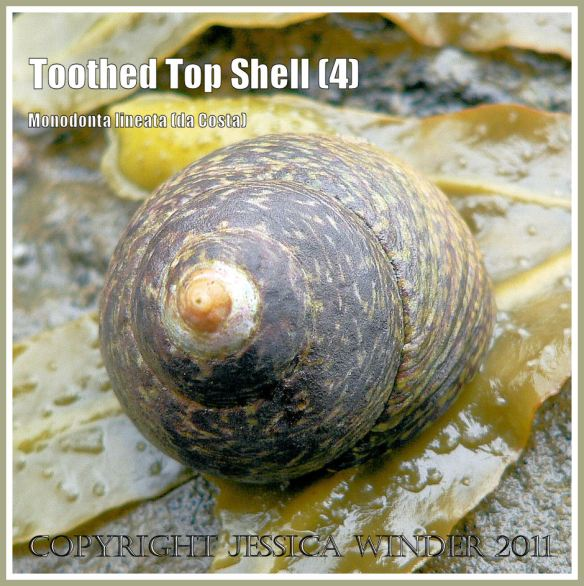 Toothed Top Shell, Monodonta lineata (da Costa), at Ringstead Bay, Dorset, UK - part of the Jurassic Coast (4)